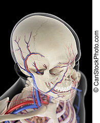 The veins and arteries of the head