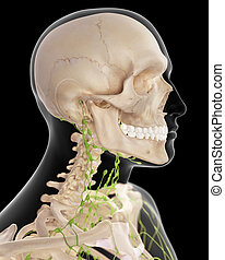 The cervical lymph nodes - medically accurate illustration...