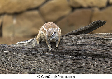 African ground squirrels - born African rodents from the...
