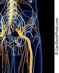 The sciatic nerve - medically accurate illustration of the...