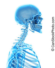 The cervical spine - medically accurate illustration of the...