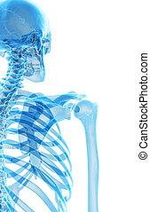 The skeletal shoulder