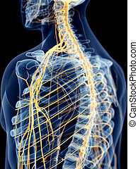The shoulder nerves - medically accurate illustration of the...