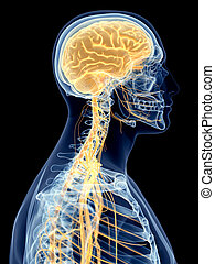 The cervical nerves - medically accurate illustration of the...