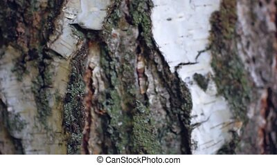 background birch bark texture tree