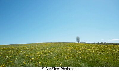 Lonely tree - Slider shot of glade of dandelions on lonely...