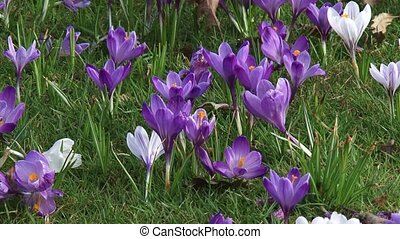 Crocus field + insects - full screen