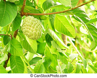 Custard apples on a tree