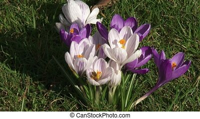bunch of crocuses in lawn - close up