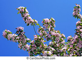 braSpringtime tree in bloom with a blue sky in the...