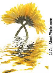 High Key Gerberas - Two crossed Gerbera Daisy flowers in...