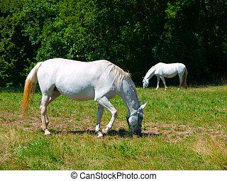 Lipizzaner horses - Two lipizzaner horses grazing on a green...