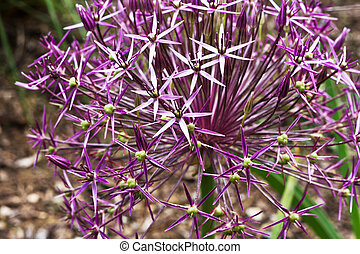Allium is the onion genus