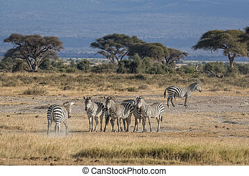 harem of zebras - Small herd of plain zebras ( Equus quagga...