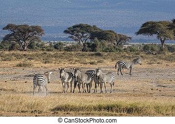harem of zebras - Small herd of plain zebras ( Equus quagga...