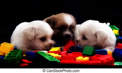 3 Cute Fluffy Puppies playing with Toy Bricks