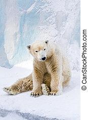 Young polar bear looking around - Young polar bear sitting...