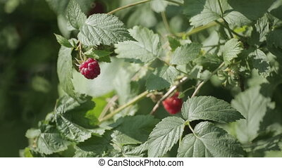 Raspberries growing on a branch
