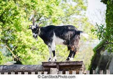 billy goat - majestic guarding billy goat animal