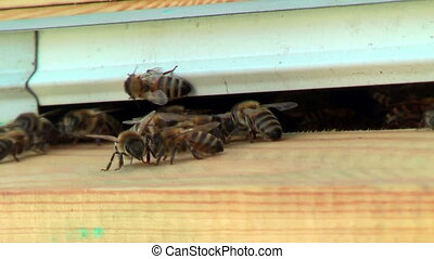 Working process of bees in a beehive - Bees of Karpatk breed...