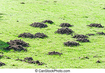 Molehill - Various molehill on a lawn in the garden.