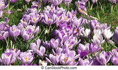 bunch of lilac crocuses in lawn - full screen