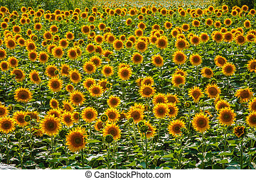 background lot of sunflowers summer landscape screen saver...