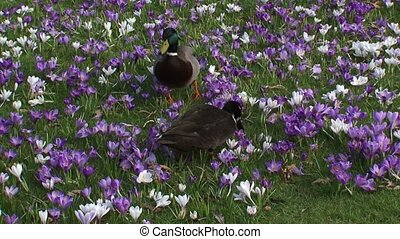 Mallards anas platyrhynchos in crocus field