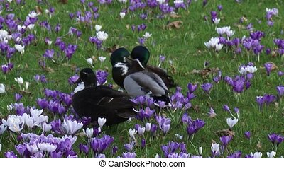 Mallards (anas platyrhynchos) compete for the attention of a...