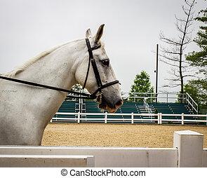 Lipizzaner Stallion - Profile shot of a graceful white...