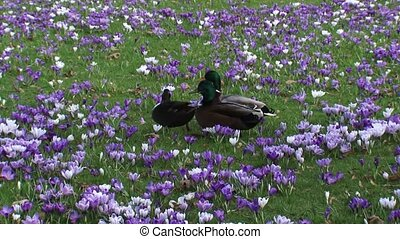 Mallards anas platyrhynchos compete for the attention of a...