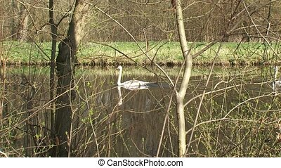 Mute swans cygnus olor on canal in spring