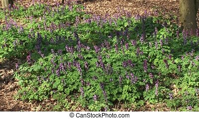 Hollowroot, Corydalis cava in bloom Corydalis is grown in...