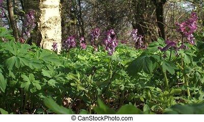 Hollowroot, Corydalis cava in bloom + honeybee - low angle....