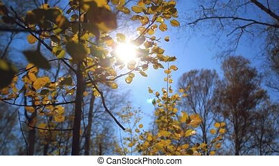 Sun shining through colorful autumn leaves making them glow in a forest on the blue sky background
