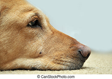 Sad Yellow Lab Laying On Carpet. Copy space on the right...