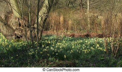 Daffodils in deciduous forest - tilt up + tilt down...