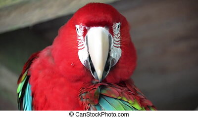 Preening Scarlet Macaw - Closeup video of a scarlet macaw...