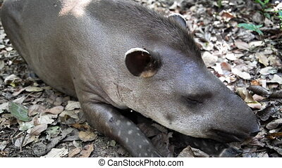 Relaxing Tapir Closeup - Closeup of a tapir relaxing in the...