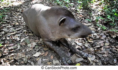 Relaxing Tapir - Tapir relaxing in the Amazon rain forest in...