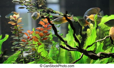 medium shot of goldfish - different types of fish in the...