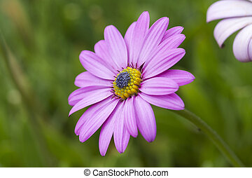 Pink daisy with a green background
