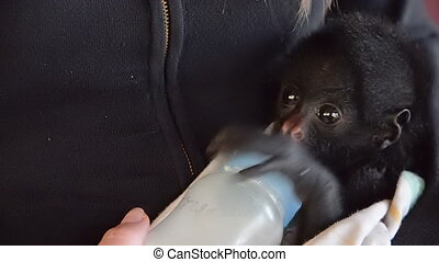 Spider Monkey Bottle Feeding - Closeup of a woman holding a...