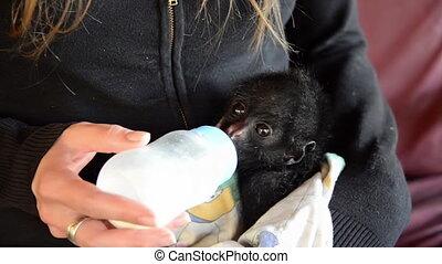 Baby Spider Monkey Feeding - Woman holding a spider monkey...