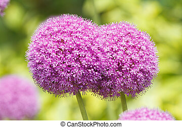 Allium flowers - Beautiful purple Allium flowers close-up