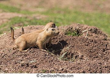 Black-Tailed Prairie marmot (Cynomys Ludovicianus)  close-up