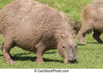 Capybara (Hydrochoerus hydrochaeris) feeding on grass