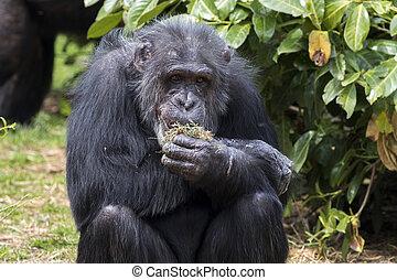Chimpanzee photo taken at the local zoo