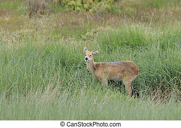 chinese water deer (Hydropotes inermis) in the UK
