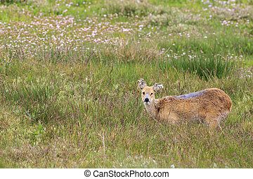 chinese water deer Hydropotes inermis in the UK